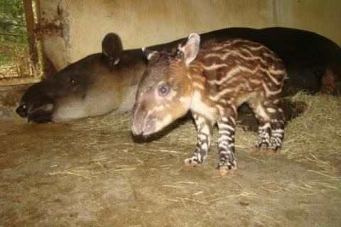 Nace danta en cautiverio en el zoológico de San Carlos